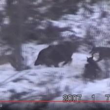 昔の森はこうだった?犬の群れvs猪の格闘が見られる動画はこちら