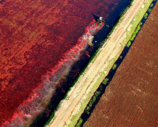 A wet cranberry bog is harvested in Carver, Mass.