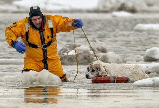02/18/2015-Revere,MA A Revere firefighter pulls Thunder to safety after she and her pal Lola ventured onto the thin ice and got stuck in the ice and frigid water. The nearly 2 hour rescue ended when Revere firefighters, in survival suits ,handed the dogs to owner Mary Sheridan.