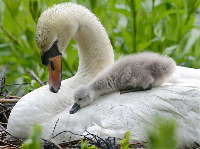 A three day-old cygnet rests its head on top of the mother swan in a nest on Gleason Pond in Framingham on June 2, 2015.  Four baby swan eggs were still underneath the mother, waiting to hatch.  Passersby and neighbors in that neighborhood had been following the construction of the nest and the growing swan family for weeks.