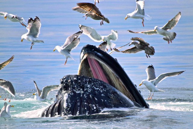 Birds fly close to a humpback whale as he surfaces in the waters off the coast of Gloucester, MA