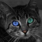 Britishorthair : Quelles sont les couleurs à privilégier dans l'environnement du chat?