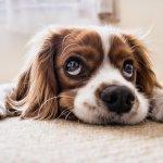 Assur O'Poil : assurer son chien et son chat