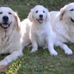 Chiens Guides Ouest : association des chiens guides d'aveugles
