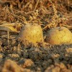 Jbbernard : acheter des plants de pommes de terre
