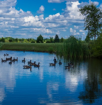 July 24th: Geese