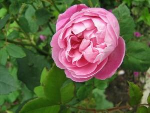 Pink Bourbon Rose
