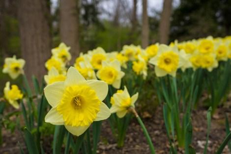 April 2: Daffodils