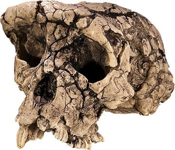 Resultado de imagen de sahelanthropus tchadensis