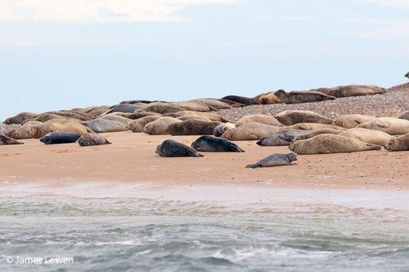 Harbour seals, Norfolk © James Lowen