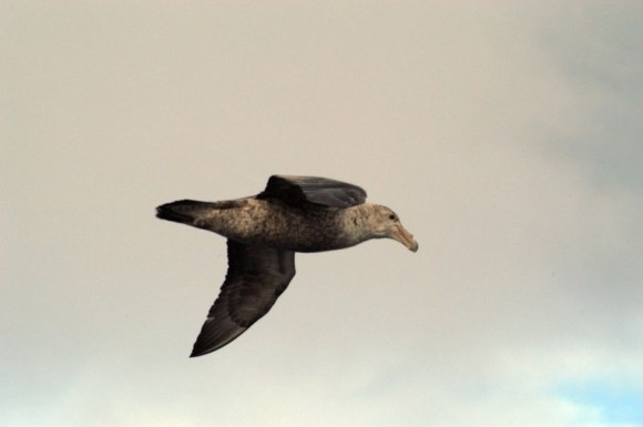 Southern Giant Petrel, Antarctica, by Gvasquez, Wikimedia Commons