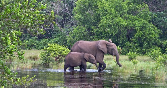 Elephants Loango National Park Gabon by Beat Germann, Dreamstime