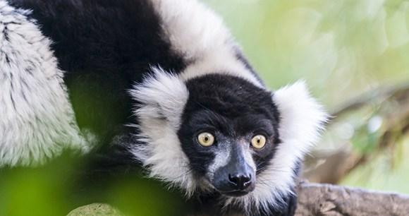 Black-and-white ruffed lemur, Madagascar © Sergey Didenko, Shutterstock