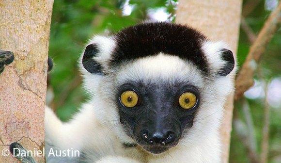 Verreaux's sifaka, Madagascar © Daniel Austin