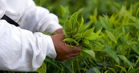 Bois Cheri Tea Estate Mauritius by Mauritius Tourism Promotion Authority
