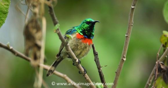 Eastern double-collared sunbird Gorongosa National Park Mozambique by Ariadne Van Zandbergen, www.africaimagelibrary.com