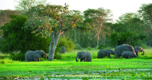 Elephants Gorongosa National Park Mozambique by Africa Image Library