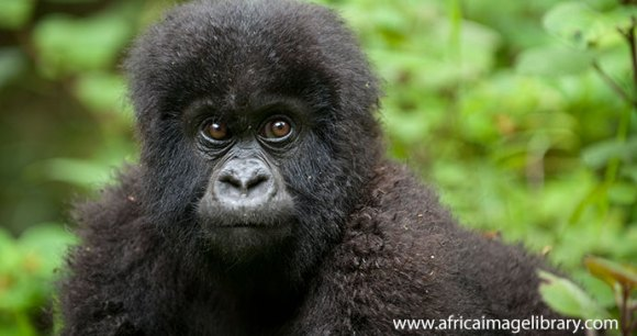 Gorilla Volcanoes National Park Rwanda by Ariadne Van Zandbergen