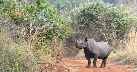 Rhino in Akagera,Rwanda by Stuart-Slabbard, Akagera Management Company