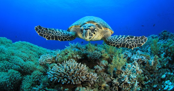 Hawksbill turtle in São Tomé and Príncipe by Rich Carey, Shutterstock