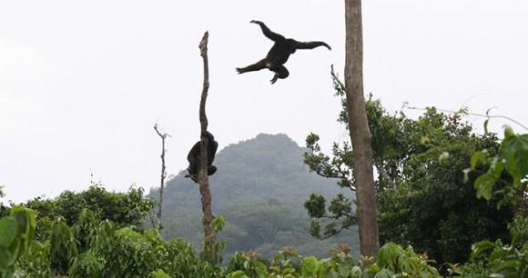 chimpanzee in Rwanda by Carles Juan Sall
