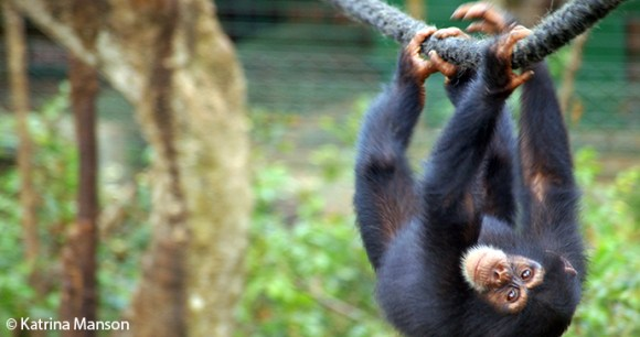 chimpanzee in Sierra Leone by Katrina Marson