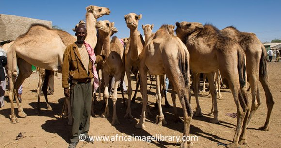 Camel market Hargeisa Somaliland Ethiopia by Africa Image Library