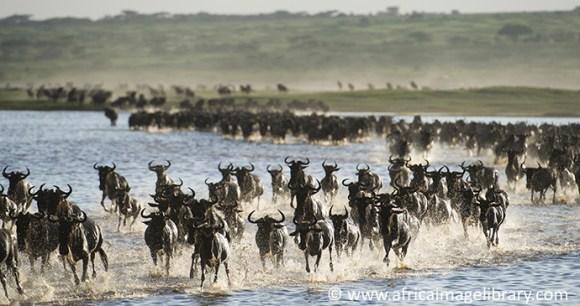 Wildebeest migration Serengeti Tanzania by Ariadne Van Zandbergen