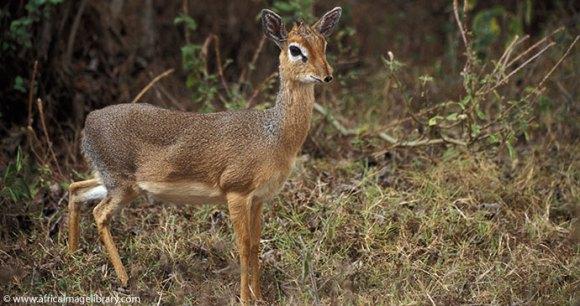 Dik dik Arusha National Park Tanzania by Ariadne Van Zandbergen