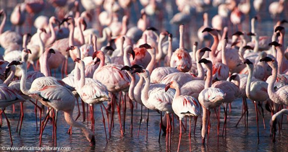 Flamingos Kenya by Ariadne Van Zandbergen