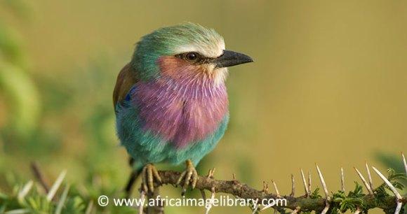 Lilac-breasted roller Serengeti Tanzania by Ariadne Van Zandbergen, Africa Image Library