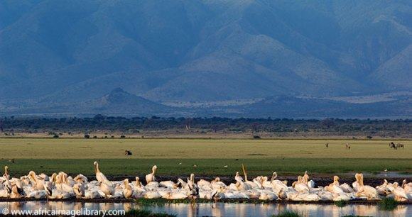 Pelicans Rift Valley Lake Manyara National Park Tanzania by Ariadne Van Zandbergen