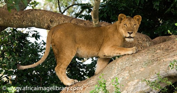 Tree climbing lions by Ariadne Van Zandbergen