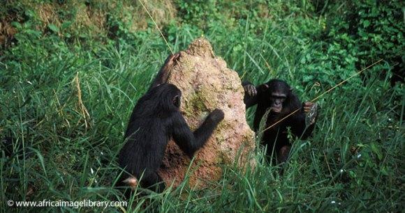 chimpanzees in Uganda by Ariadne Van Zandbergen