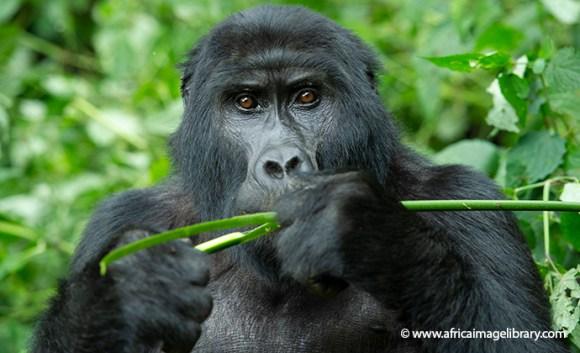 Mountain gorilla Bwindi National Park Uganda by Ariadne Van Zandbergen Africa Image Library