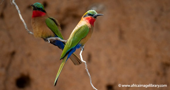Red-throated bee-eater Ariadne Van Zandbergen
