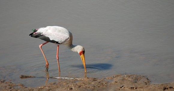 Yellow-billed stork Kasanka National Park by Tricia Hayne
