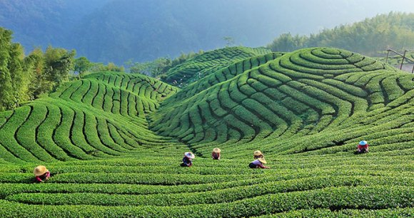 Tea plantation Kopje Taiwan by Taiwan Tourism