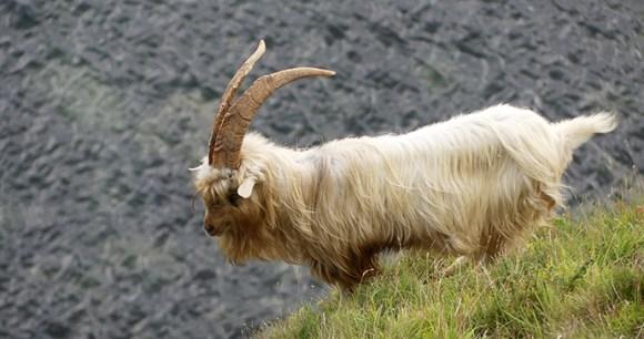 Kashmir goat Orme Wales UK by ianpreston, Flickr