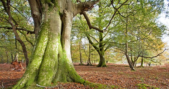 Ancient tree New Forest by Ollie Taylor, Shutterstock