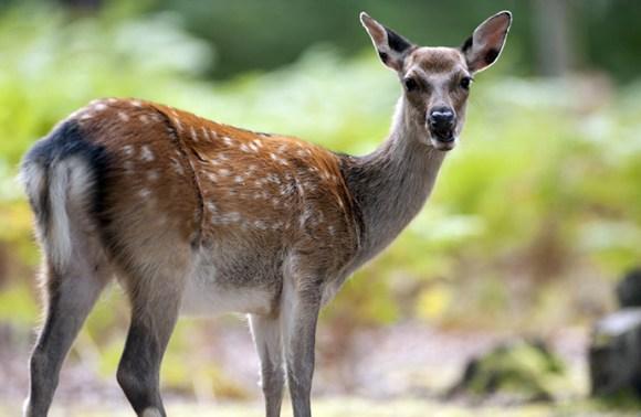 Red deer, Brownsea Island, Dorset, England by John Millar, Shutterstock