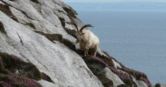 goat,lundy,north devon,england,UK by geograph.org.uk, Wikimedia Commons