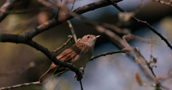 Nightingale in Suffolk by Andy Hay, rspb-images.com