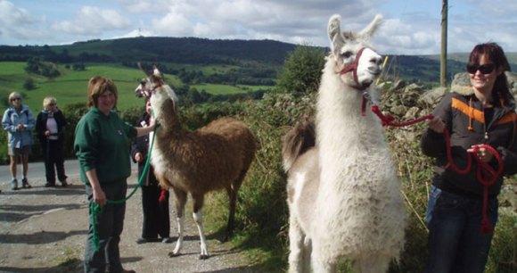 Nidderdale Llamas Yorkshire DAles by Paul Gillett Wikimedia Commons