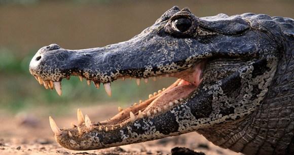 Black caiman Guyana by Fotonatura, Guyana Tourism Authority