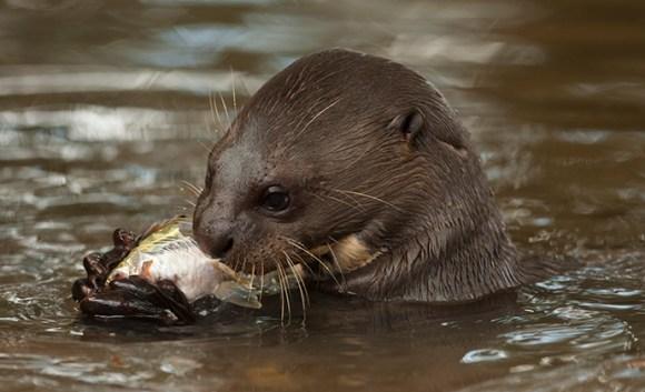 Giant otter eating fish Guyana by Guyana Tourism Authority