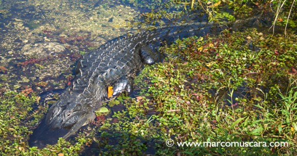 Caiman The Pantanal Brazil by Marco Muscarà
