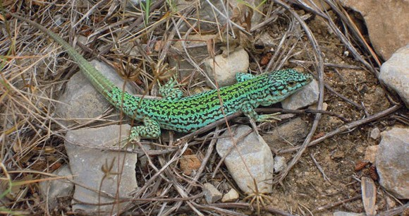 Ibiza wall lizard, Algarve, Portugal by Stavros1, Wikimedia Commons