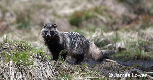 Raccoon dog, Estonia by James Lowen