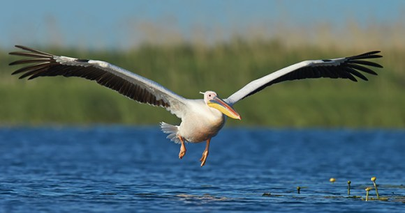 White pelican, Danube Delta, Romania by Richard Steel